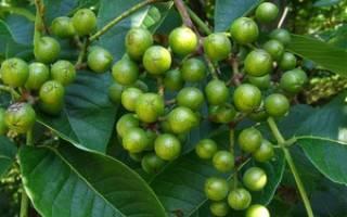 Ягоды бархатного дерева лечебные свойства