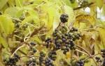 Плоды бархатного дерева сахарный Болезни