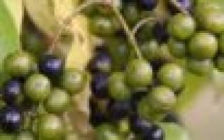 Плоды бархатного дерева применение