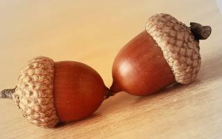 Дубовые желуди полезные свойства