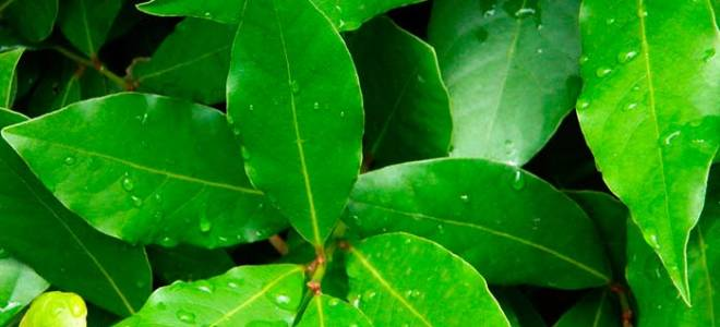 Понизить сахар в крови быстро лавровым листом