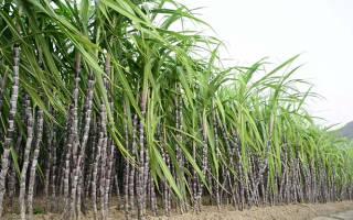Тростниковый сахар при Болезние