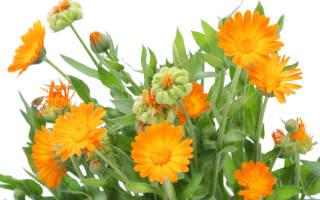 Календула лечебные свойства и противопоказания при Болезние
