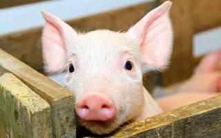 Сколько Болезниа в сале свином
