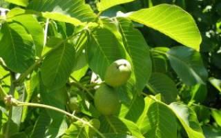 Ореховые перегородки при сахарном Болезние